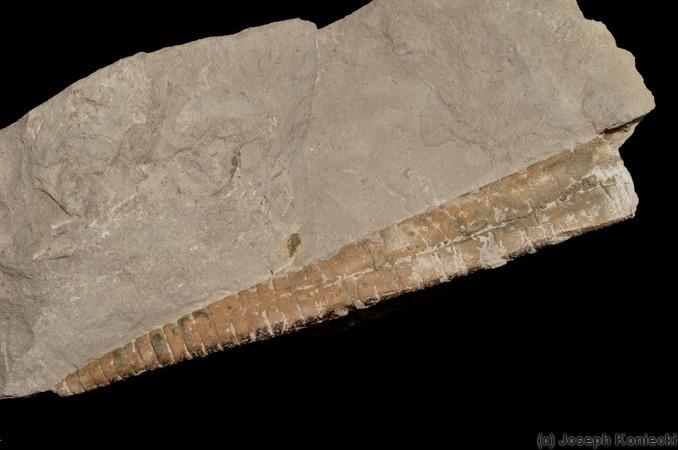 Friends of the UMMP Michigan Basin Specimen DatabaseMichelinoceras Fossil